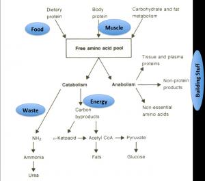 Incorporation of Nitrogen and Urea
